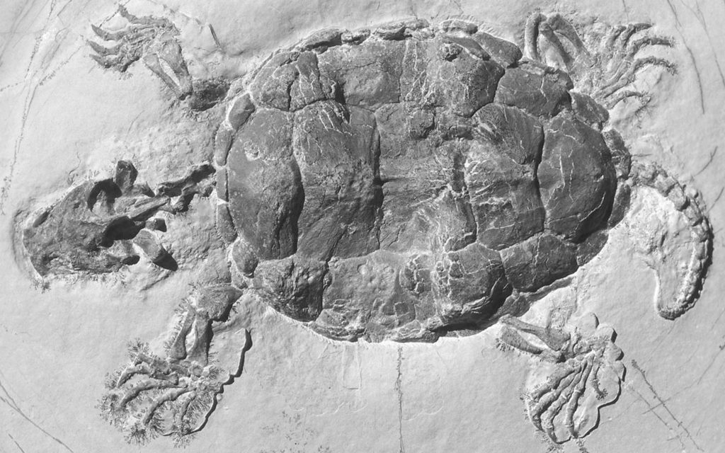 The Platychelys oberndorferi fossil from the Late Jurassic period found in Germany. Credit: H. Tischlinger.