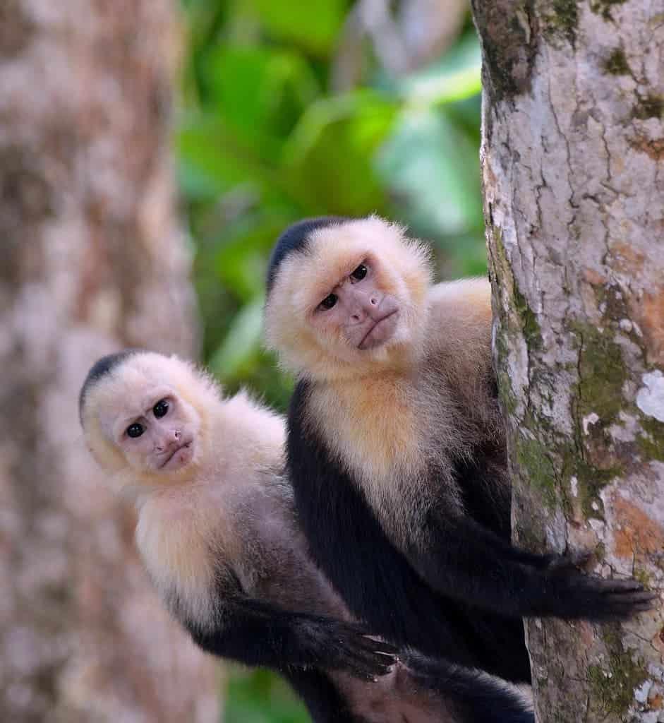 Suspicious Capuchins.