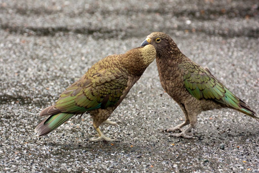 Two playful Keas. Credit: Flickr.