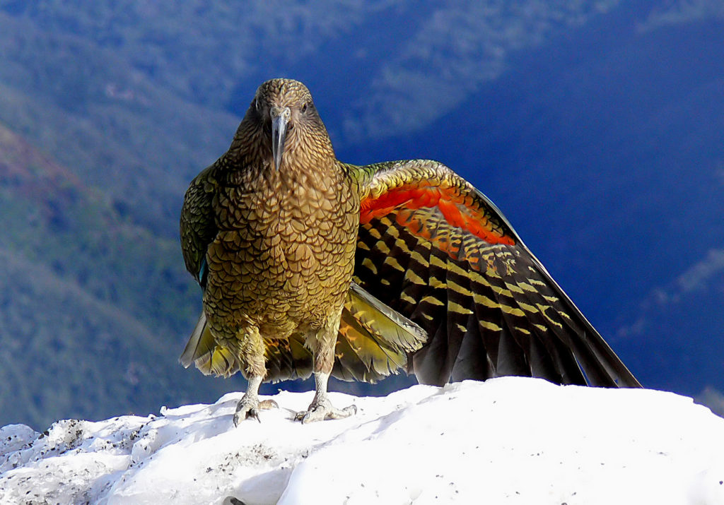 The New Zealand kea is an endemic parrot found in the South Island's alpine environments. As many as 5,000 and as little as 1,000 individuals are believe to exist in the wild. Credit: Bernard Spragg. Flickr.