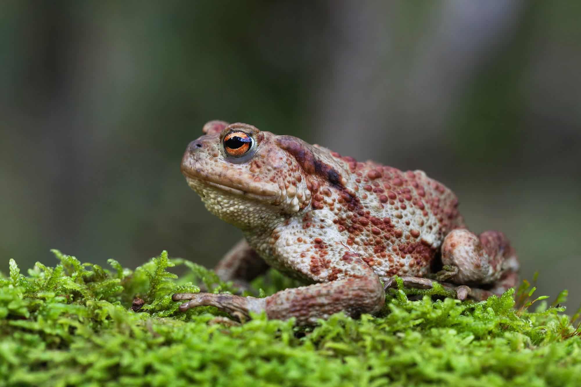 жаба рапуха фото поза