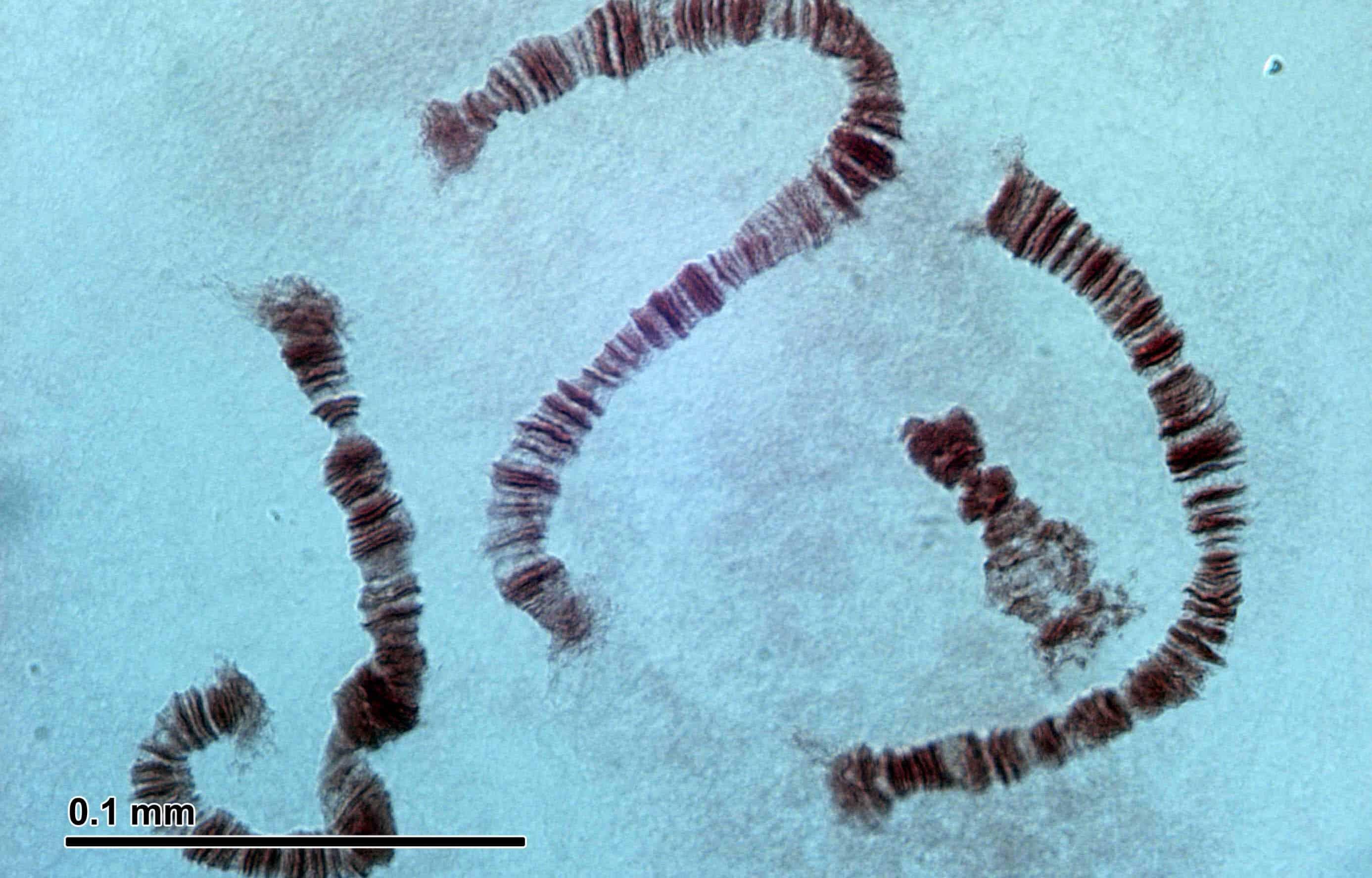 Preparation of Drosophila Polytene Chromosome Squashes for Antibody Labeling