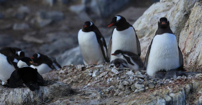 Gentoo Penguins nesting. Credit: Flickr, Liam Quinn.