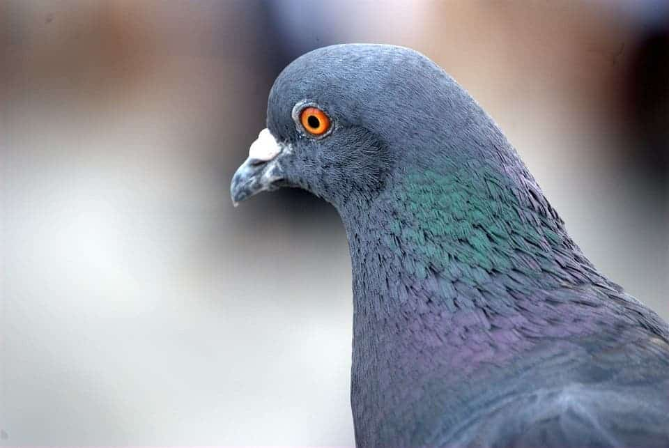 homing pigeon up close