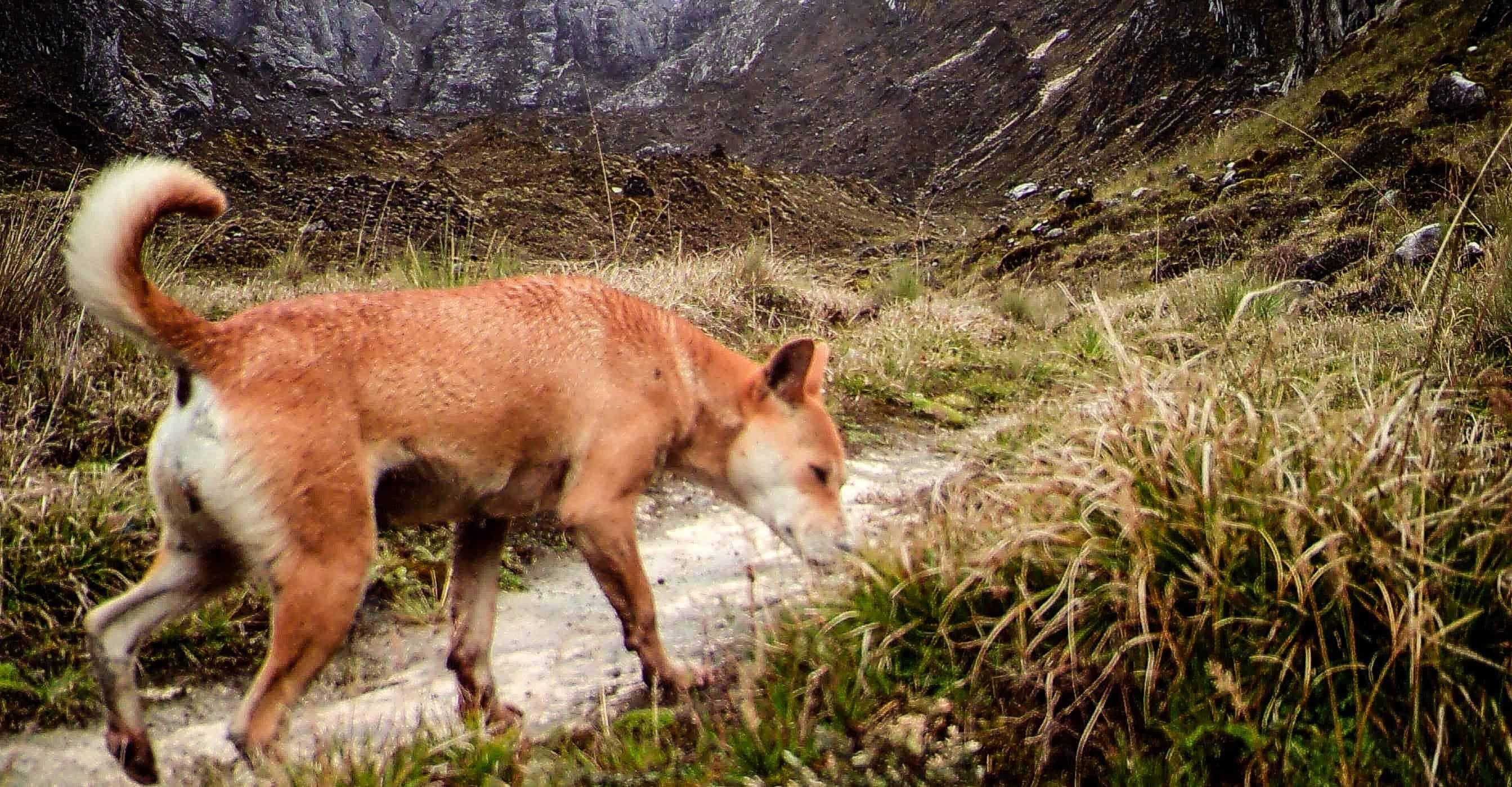 New Guinea Highland Dog feared extinct found again