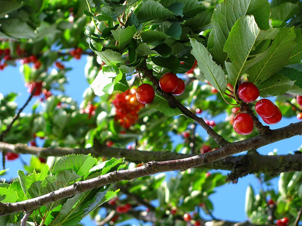Why buy red cherries when you can forage them from nearby? Credit: Pexels.