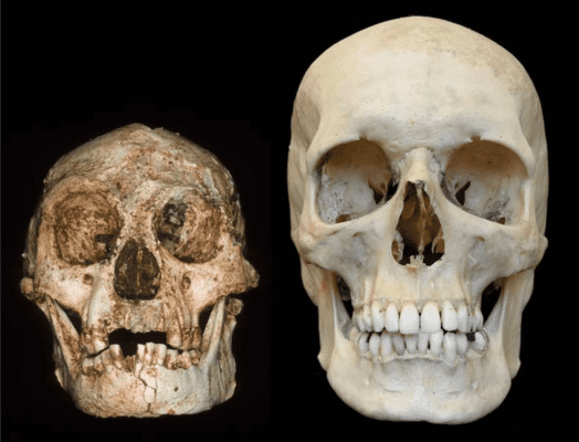Virtual endocast of H. floresiensis (left) vs H. sapiens (right). Credit: rofessor Peter Brown, University of New England.