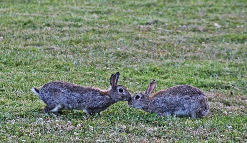 Wild Rabbits.