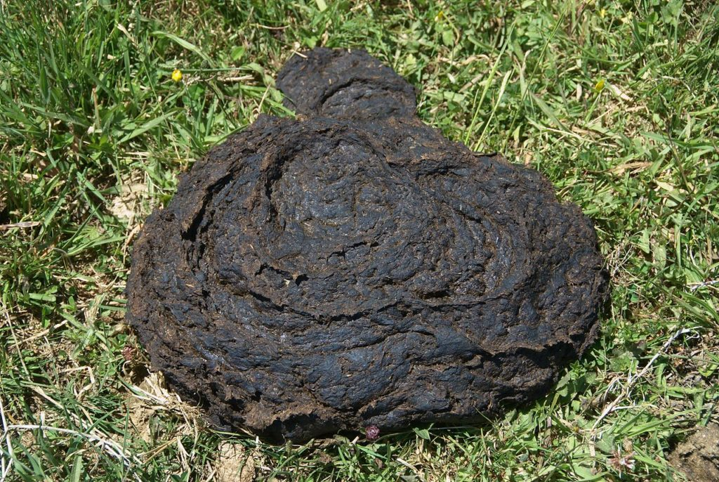 According to an Ugandan urban myth, cow dung helps burns heal faster. It does not. Credit: Wikimedia Commons.