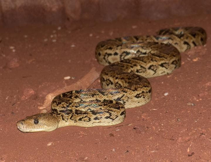 A Curtain Of Snakes For The First Time Scientists Confirm