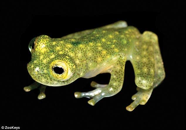 A juvenile H. yaku, stands out with its dark green spots and atypical reproductive behaviours.