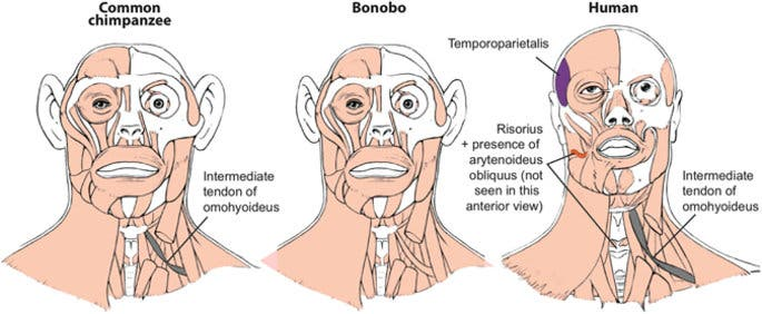 Differences between head muscles of common chimpanzees, bonobos and modern humans. There are many differences between bonobos and modern humans (right) concerning the presence/absence of muscles in the normal phenotype (shown in colors and/or with labels in the human scheme). Credit: George Washington University.