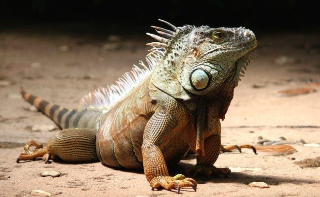 Iguana sun basking.
