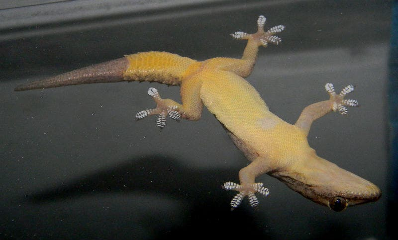 Gecko Upside Down.
