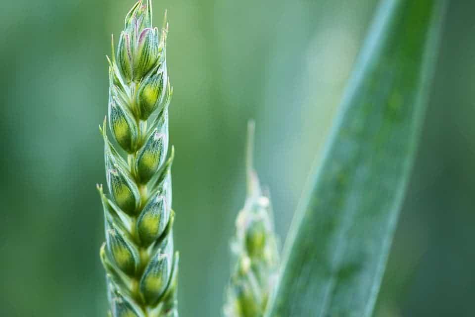 Grain crop.