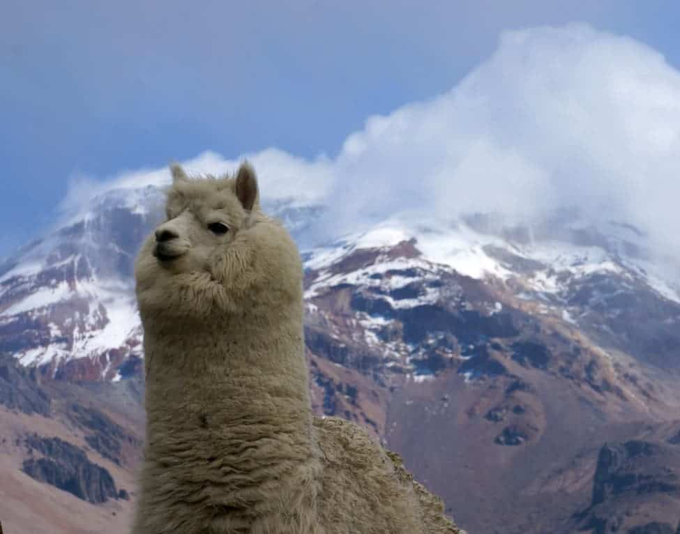 An alpaca with Chimborazo in the background. Even though the mountain is very close to the equator, it is high enough to support a year-round snow cap. Credit: International Alpine Guides.