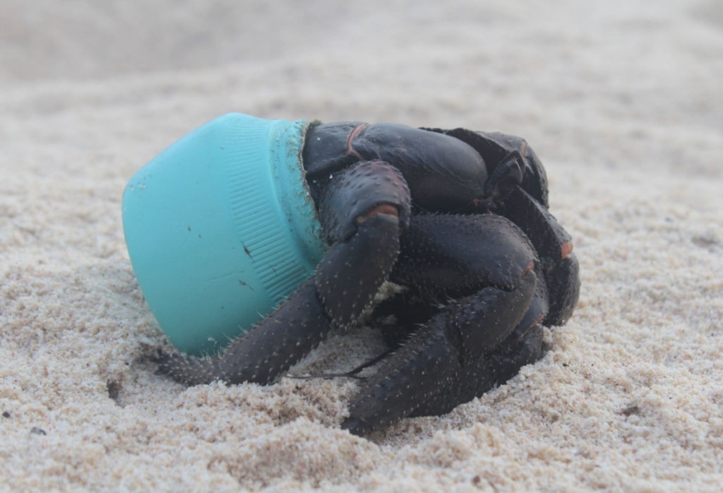 Henderson Island is polluted with the greatest density of plastic in the world. The situation is so bad that hermit crabs use plastic debris for homes. Credit: Jennifer Lavers/University of Tasmania.