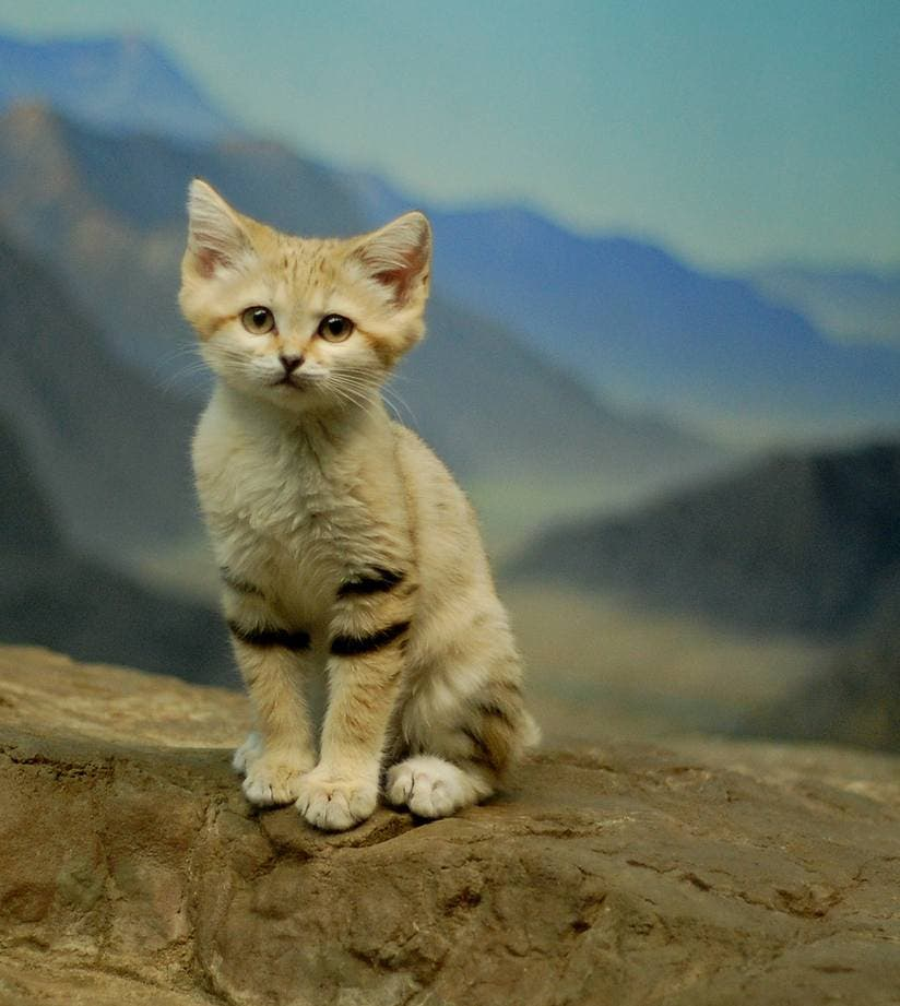 Amazing Cat: Sand Cat: The Amazing Animal That Doesn't Need To Drink Water