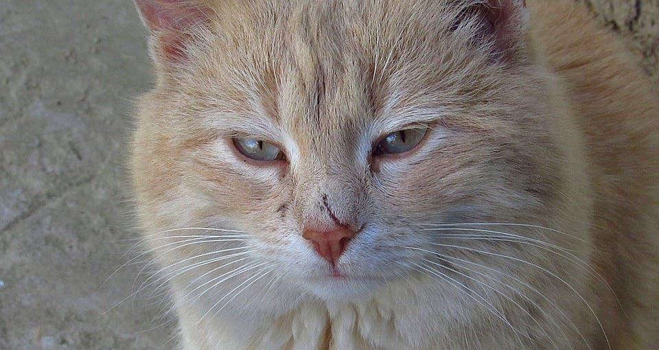 Scarred cat.
