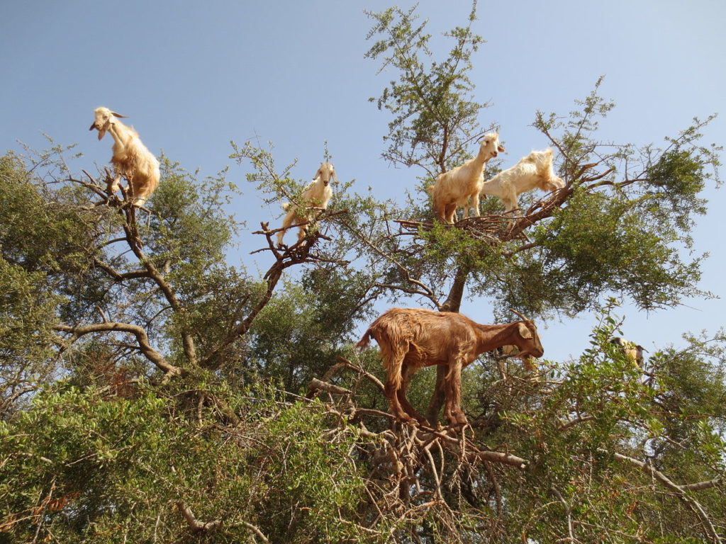 Goats are excellent climbers and rarely if ever fall down from a tree. Credit: Wikimedia Commons.