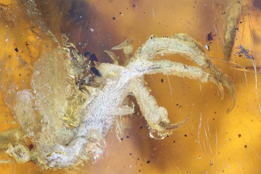 amber hatchling