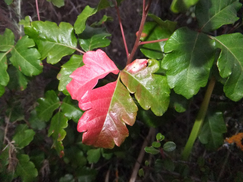 poison oak leaf