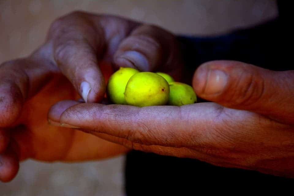 Argan seeds can grow to be quite large. Credit: Max Pexels.