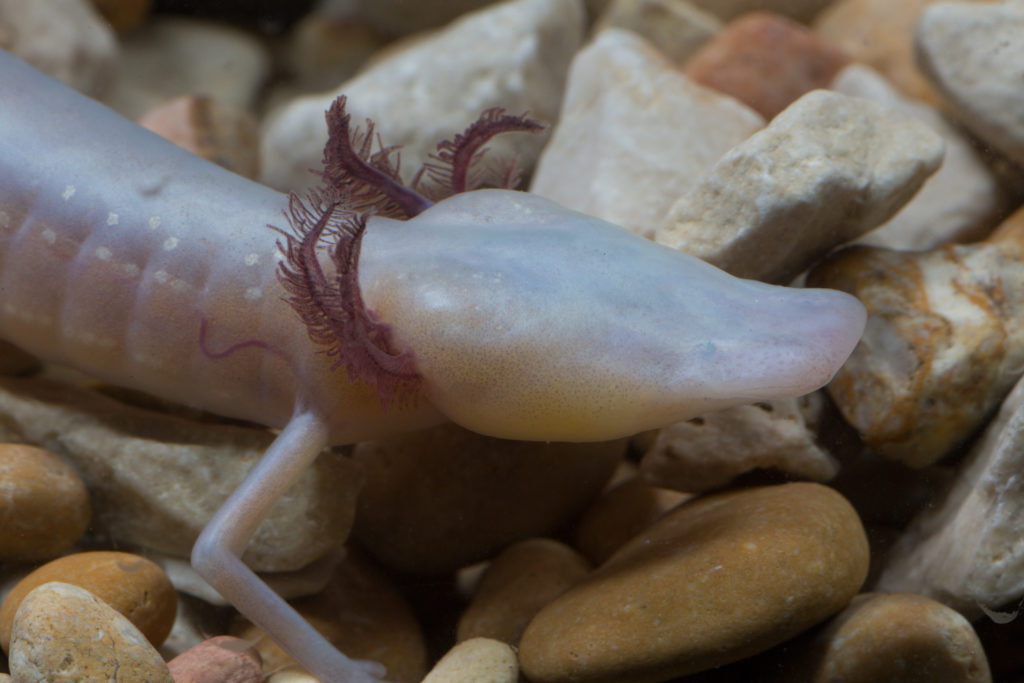 The Texas blind salamander (Eurycea rathbuni). Credit: Wikimedia Commons.