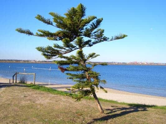 Cook pine in Kyeemagh Beach, southern Sydney, Australia. Credit: Wikimedia Commons.