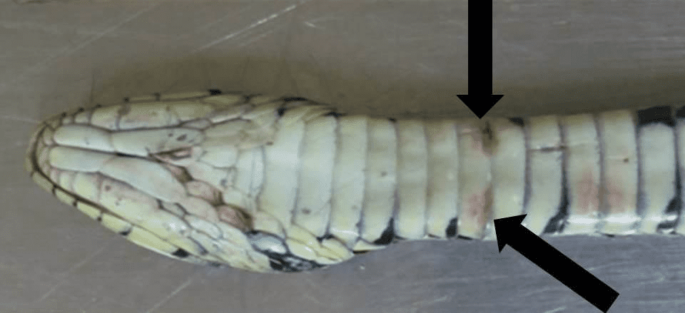 Snake fungal disease observed in Europe for the first time