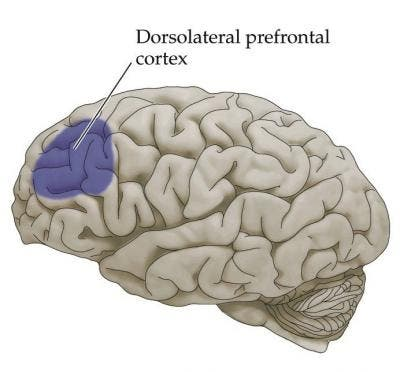 The dorsolateral prefrontal cortex (dlPFC) is a region in the frontal lobes toward the top and side: hence dorso (top) and lateral (side). Credit: Quora.