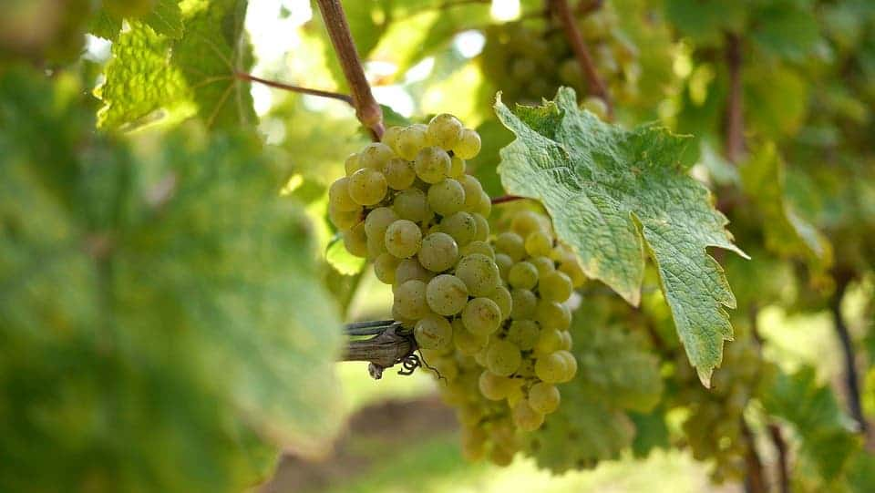 Riesling grapes.