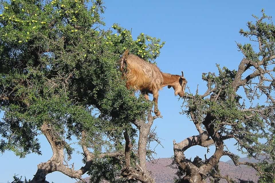 A lovely goat enjoying some argan seeds. Credit: Pixabay.
