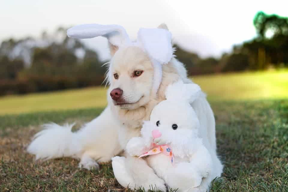 Dog with rabbit ears.