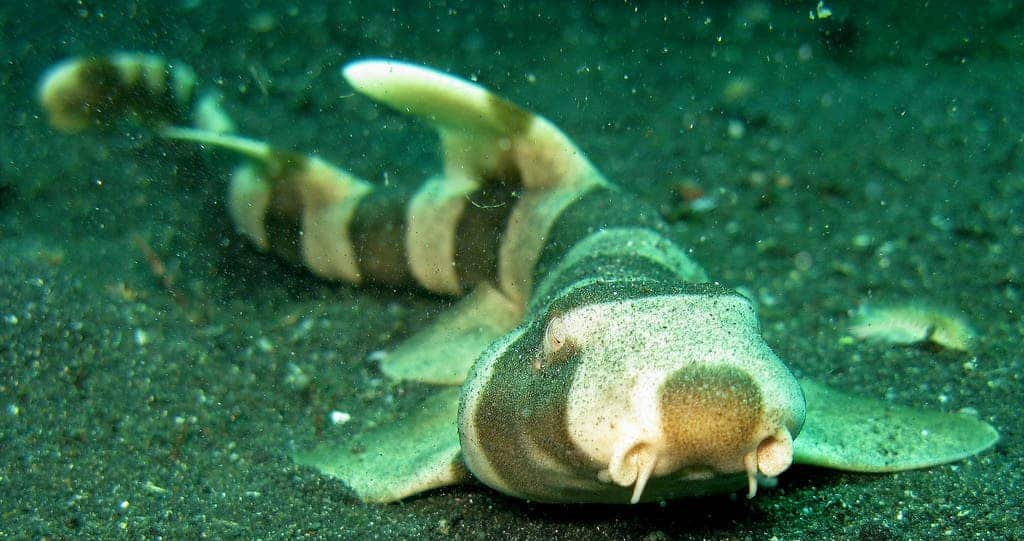 Bamboo Sharks Really Have To Put Their Back Into Eating