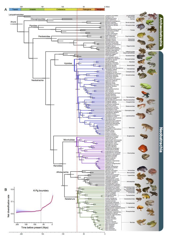 About 88 percent of modern frogs evolved after the mass extinction that killed non-avian dinosaurs, marked here by a dotted red line. Graphic by Feng et al. in Proceedings of the National Academy of Sciences.