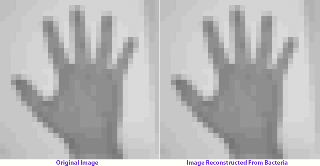 Left: image of a human hand that was encoded in bacterial DNA. Right: the retrieved file after the bacteria's genome was sequenced. Credit: Seth Sherman