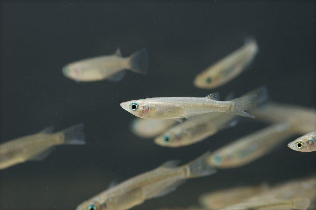 Japanese rice fish (Oryzias latipe). Credit: Wikimeida Commons.