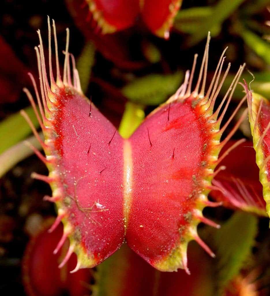 carnivorous plant trap
