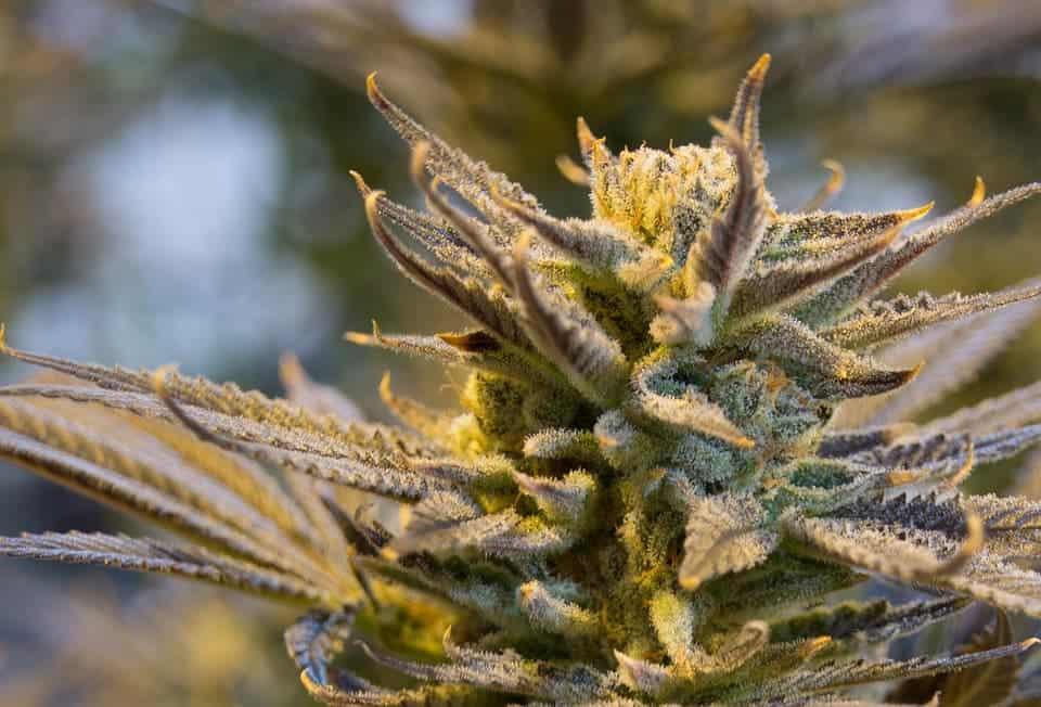 cannabis THC