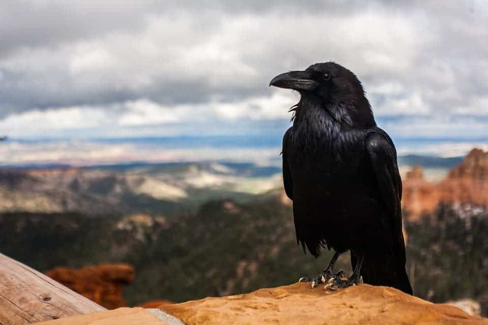 7 brainy reasons why crows and ravens are the smartest birds in the world