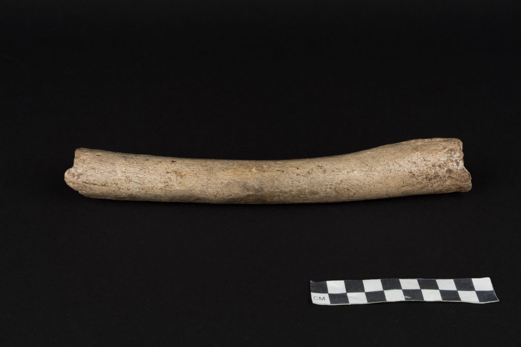 Hohlenstein-Stadel femur remains (HST), displaying archaic features. Credit: Oleg Kuchar © Photo Museum Ulm.