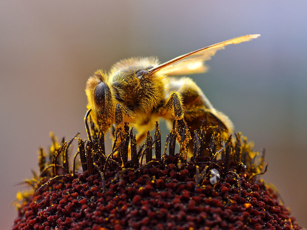 bee bumblebee pesticides