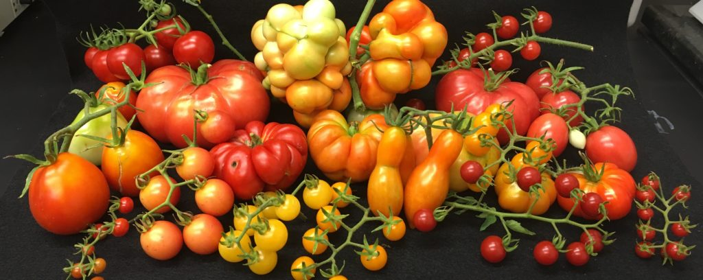 Diversity in tomato fruit weight is explained in part by a mutation in the Cell Size Regulator gene that arose during domestication. Credit: Alexis Ramos and Esther van der Knaap.