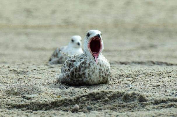 Seagull yawn.