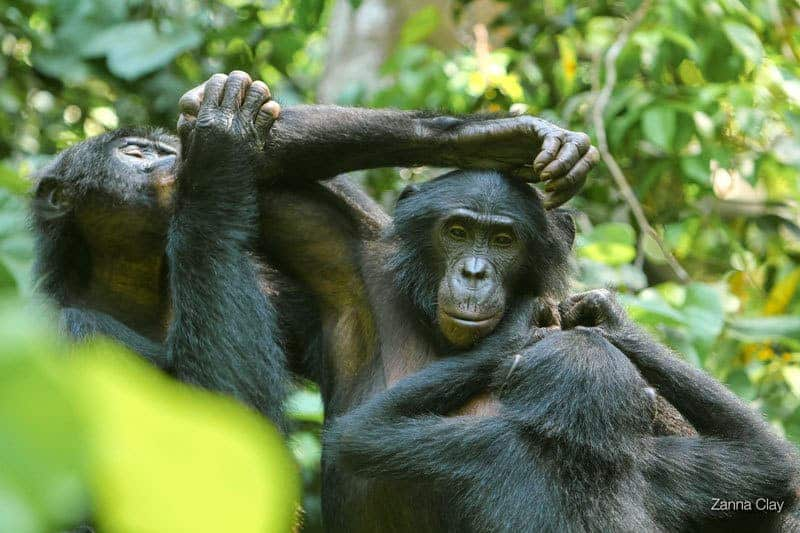 Social interactions among bonobos - pointing gestures and pantomime, too, are deployed in communication. Credit: LuiKotale Bonobo Project/ Zana Clay.