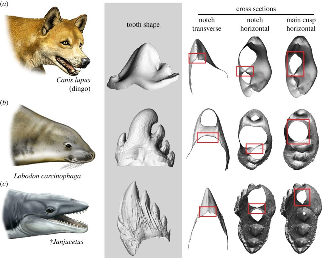 Tooth sharpness comparison between various ancient whales and modern carnivorous. Note the sharp cutting edges in the dingo and †Janjucetus. Credit: Carl Buell.