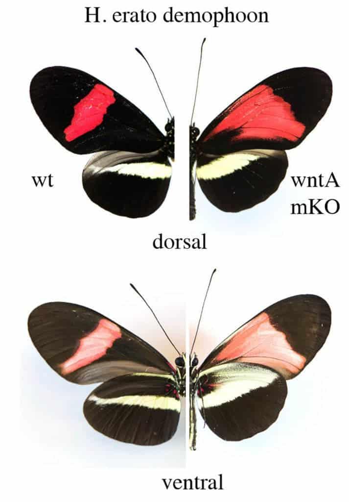modified CRISPR butterfly