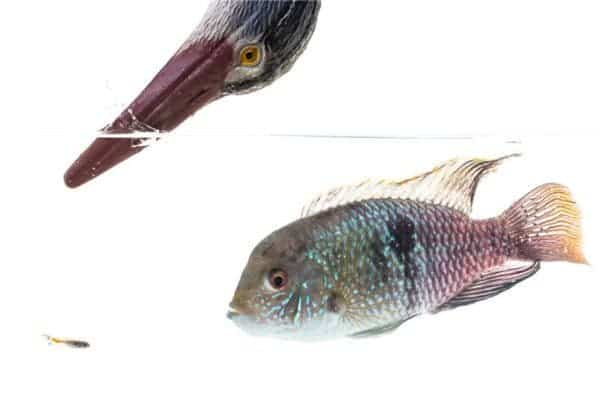 A mock-up image showing a Trinidadian guppy (the small fish), a blue acara cichlid and a model of a heron. Credit: Copyright Tom Houslay, University of Exeter
