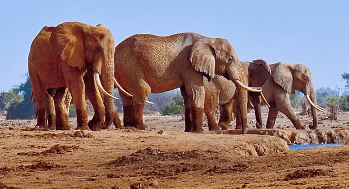 Elephants at a waterhole in Tsavo East National Park in Kenya. Credit: Wikimedia Commons.